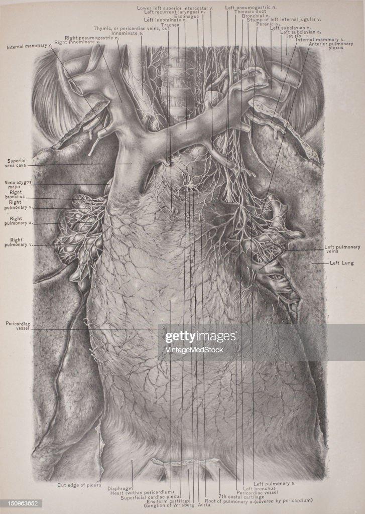 Structures In The Superior Mediastinum The Pericardium Roots Of