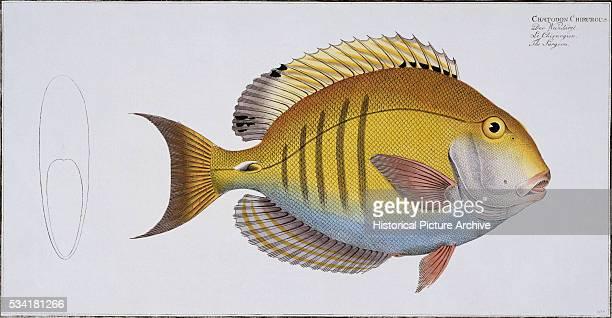 The Surgeon Fish by Johan Friedrich August Krueger and Johan Friedrich Henning