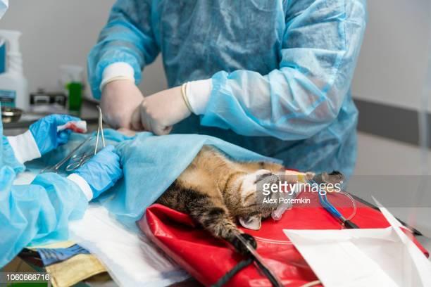 la chirurgie à la clinique vétérinaire. l'équipe de deux médecins vétérinaires, l'homme, chirurgien et la femme, infirmière, sauve le chat dans la salle opérationnelle. - medical stitches photos et images de collection