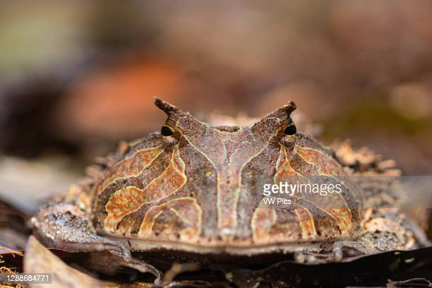 The Surinam horned frog , also known as Amazonian horned frog, is a bulky frog measuring up to 20 centimetres found in the northern part of South...