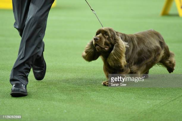 The Sussex Spaniel 'Bean' wins Sporting Group judging at the 143rd Westminster Kennel Club Dog Show at Madison Square Garden on February 12 2019 in...