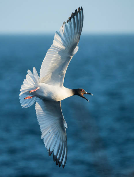 The swallow-tailed gull (Creagrus furcatus) is an equatorial seabird in the gull family, Laridae taken at Punta Suarez on Espanola Island, Galapagos. It spends most of its life flying and hunting over the open ocean. The main breeding location is in the G