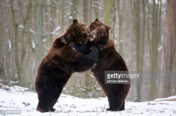 The Swedish brown bears Fred and Frode romp in their enclosure in the nature and environmental park NUP in Guestrow, Germany, 30 January 2014....