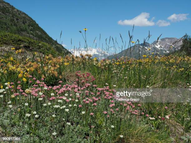 The Swiss Alps and Multi-colored Wild Flowers at Simplon Pass
