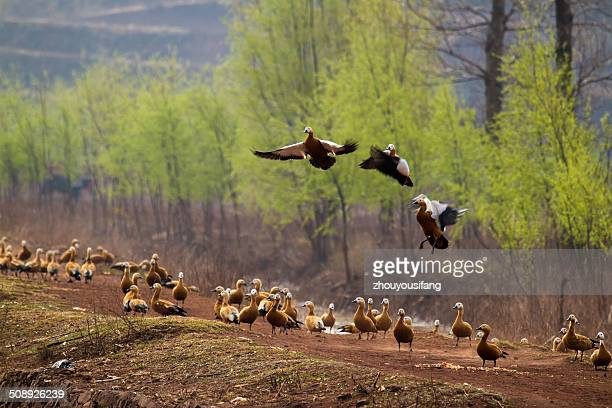 the tadorna ferruginea - provinz yunnan stock-fotos und bilder