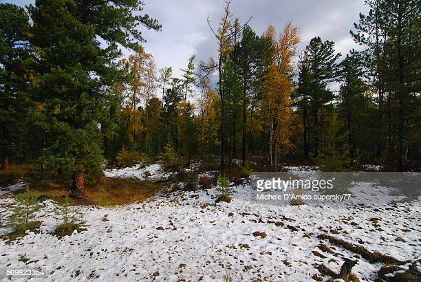 the taiga with snow. - larch tree stock pictures, royalty-free photos & images