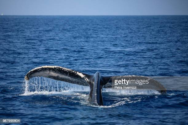 the tail of a humpback whale in kailua, hawaii. - petra invernizzi foto e immagini stock
