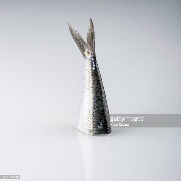 the tail of a sardine. - pez fotografías e imágenes de stock