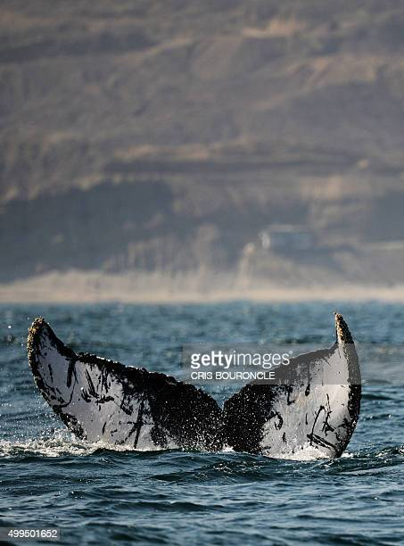 The tail of a South Pacific humpback whale is spotted on the Pacific Oceans surface as it migrates southbound off the coast of Cabo Blanco in...