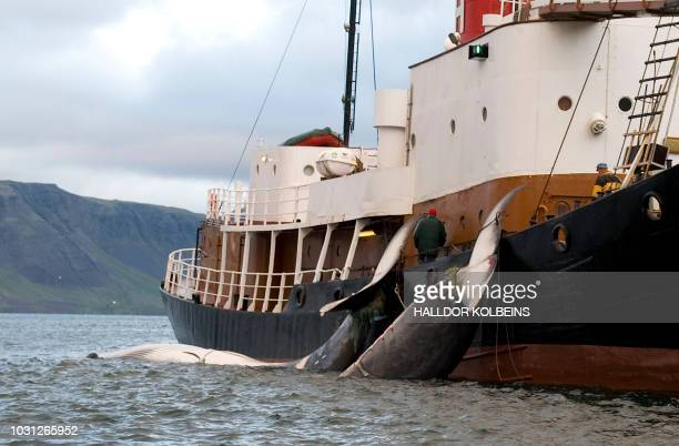 The tails of two 35tonne Fin whales are bound to a Hvalur boat on June 19 2009 after being caught off the coast of Hvalfjsrour north of Reykjavik on...
