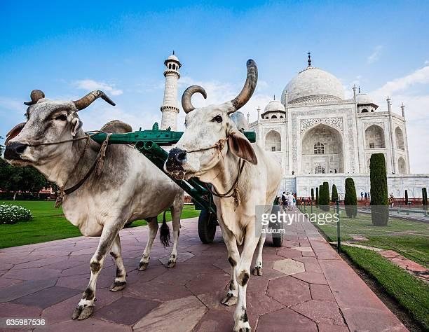 das taj mahal in agra indien - ox cart stock-fotos und bilder