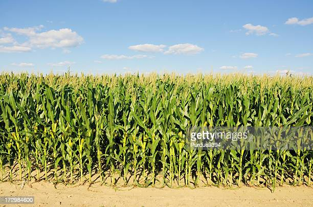 The tall Indiana cornfield during the summer