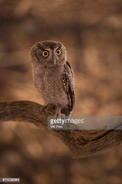 The Tamaulipas pygmy owl is a species of owl in the Strigidae family It is endemic to Mexico This is one of the smallest owls in the world at a mean...