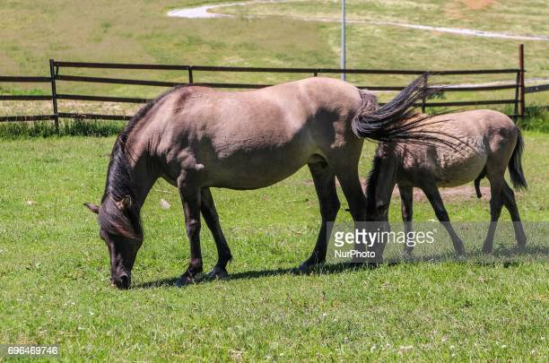 The tarpan type horse , also known as Eurasian wild horse is seen in Bialowieza, Poland, on 15 June 2017 People enjoy sunny day and visit European...