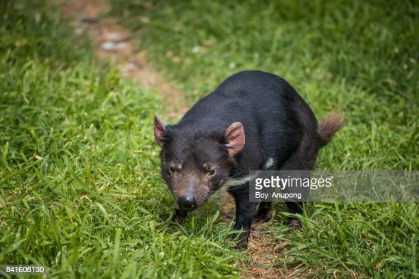 The Tasmanian devil in Phillip Island conservation park, Australia.