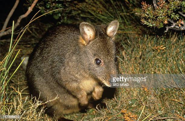 The Tasmanian Pademelon or Rufous Wallaby ( Thylogale billlardierii ) Endemic to Tasmania, Australia.