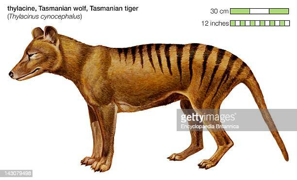 The Tasmanian Tiger Was A Carnivorous Marsupial Found In Australia And New Guinea Until Its Extinction In The 1930S