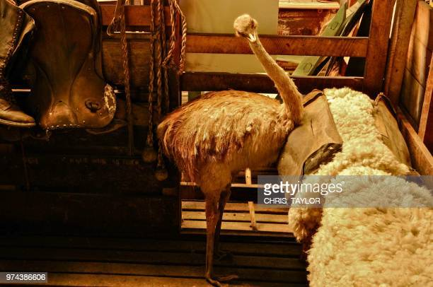 the taxidermists place - emu farming stock pictures, royalty-free photos & images