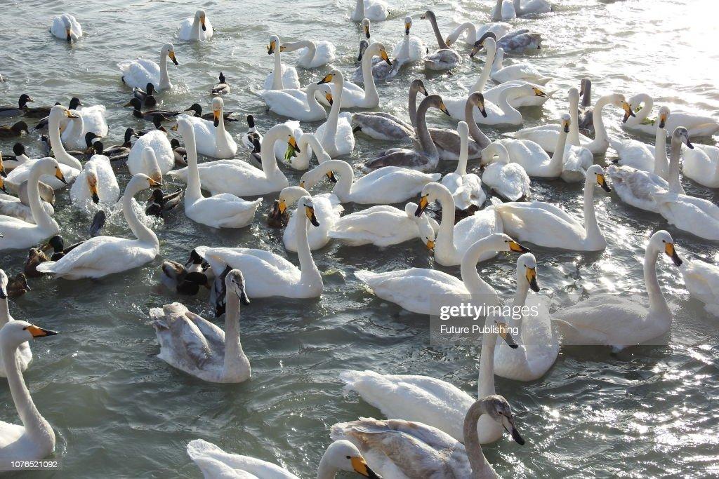 Frozen Swans Mouth At Low Temperature In Xinjiang China News Photo