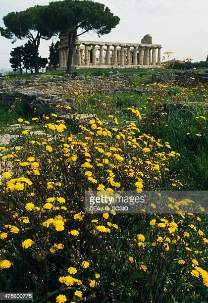 The Temple of Athena also known as Temple of Ceres wth a Doric column in the foreground Paestum Campania Italy MagnoGrecian civilisation 6th century...