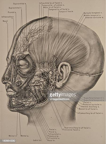 The temporal fascia is a white shining membrane which is stronger than the occipitofrontalis aponeurosis in this location and hich gives attachment...