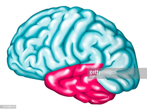 The Temporal Lobe Of The Brain The Temporal Lobe Includes Notably The Auditory Cortex Primary Auditory Cortex Reception Of Sounds And Wernicke's Area...