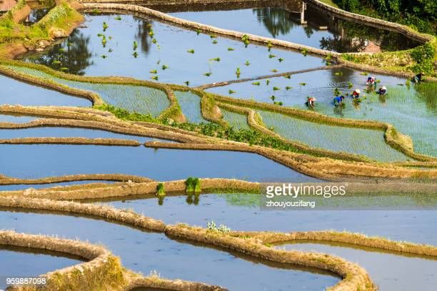 the terraced fields of spring and the people working in the terraced fields - reisterrasse stock-fotos und bilder