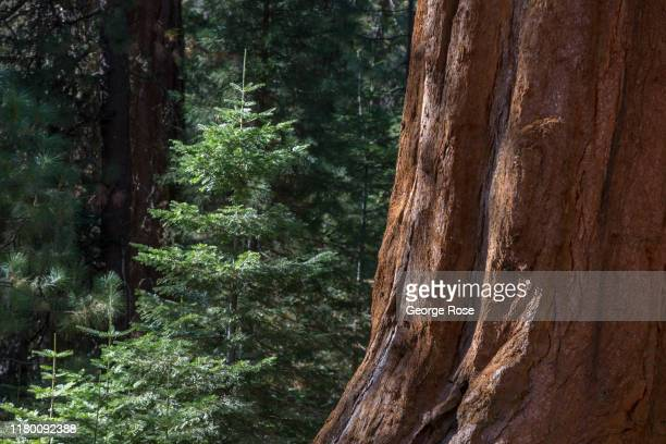 The thick forest is viewed from a boardwalk at Yosemite's Mariposa Grove of Giant Sequoias on October 6 in Yosemite Valley California With the...