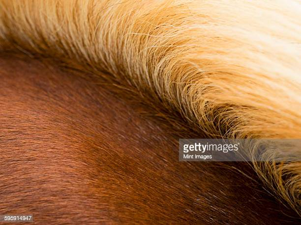 The thick pale gold mane of a bay horse.