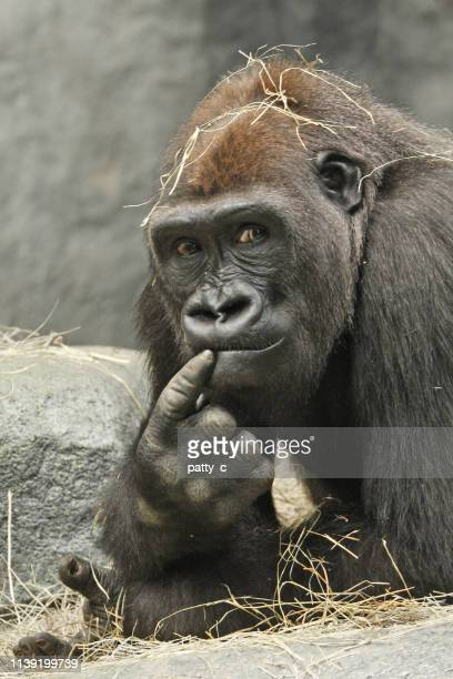 the thinker - gorilla stock pictures, royalty-free photos & images