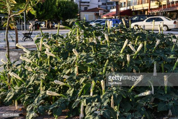 The thornapple a highly toxic plant which leaves are used for pharmacy on Euboea Greece on July 31 2017