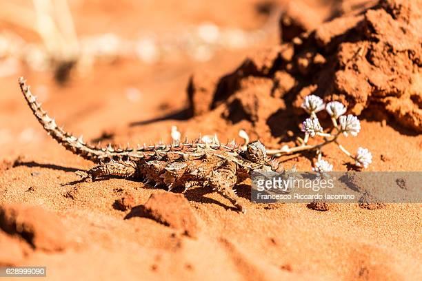 the thorny devil, australia - francesco riccardo iacomino australia foto e immagini stock