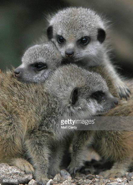 The three baby meerkats cuddle in the cold at Bristol Zoo on April 4 2008 in Bristol England The fourweekold new arrivals two boys and a girl are...