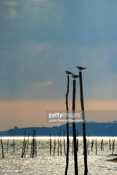 The three birds of the Arcachon basin