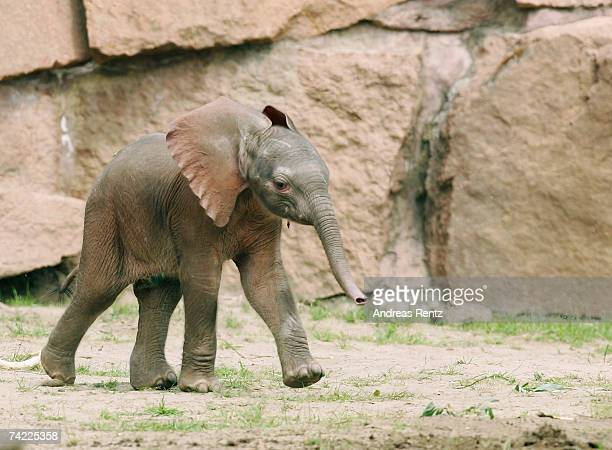 The three day old as yet unnamed baby elephant plays in his enclosure at the Zoological Garden Berlin on May 23 2007 in Berlin Germany The baby...