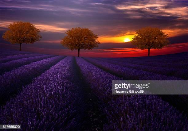 The Three Red trees and lavender field
