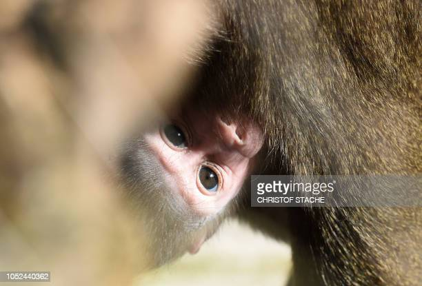 The three weeks young drill monkey girl Shari clings to her mother Kaduna in the enclosure at the zoo Hellabrunn in Munich southern Germany on...