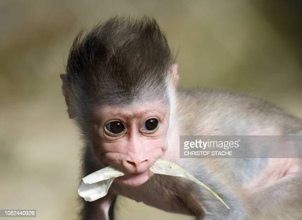 TOPSHOT The three weeks young drill monkey girl Shari walks in the outside enclosure at the zoo Hellabrunn in Munich southern Germany on October 18...