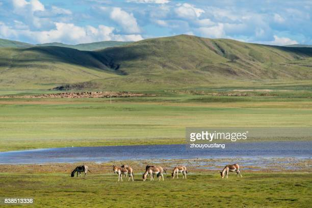 the tibetan kiang of qinghai province - qinghai province stock photos and pictures