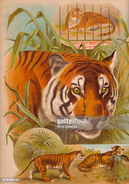 The Tiger' c1900 From Baby's Animal Picture Book by Aunt Louisa [Frederick Warne Co London New York c1900] Artist Helena J Maguire