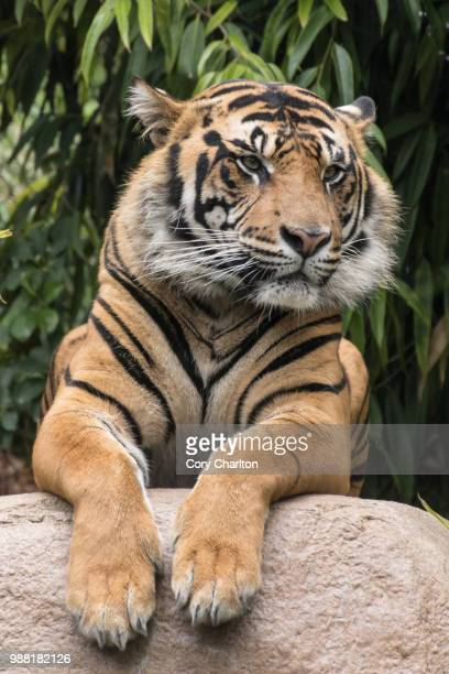 the tiger watches - sumatran tiger stock pictures, royalty-free photos & images