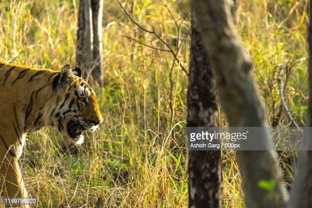 the tigers of pench - wildlife reserve stock photos and pictures