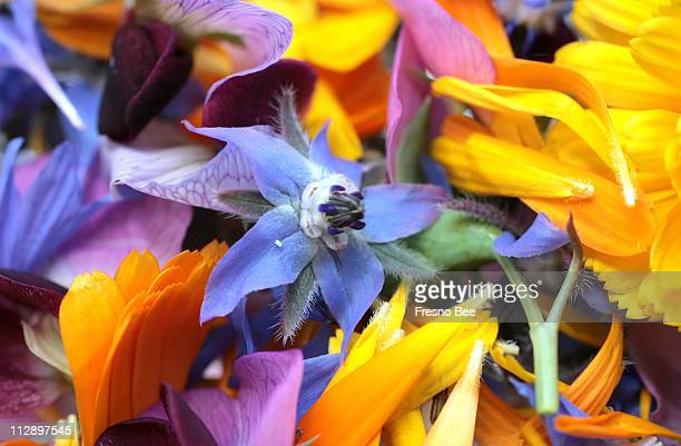 The tiny edible flower of the borage is amidst a potpourri of other edible flowers