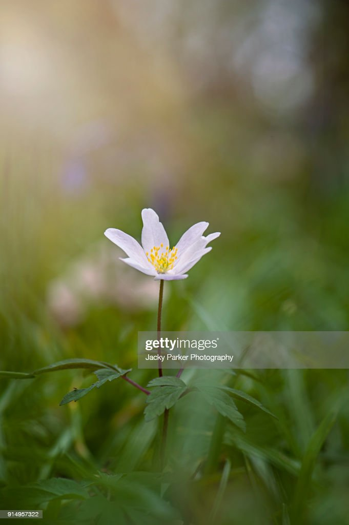 The tiny white spring flower anemone nemorosa or wood anemone stock the tiny white spring flower anemone nemorosa or wood anemone stock photo mightylinksfo