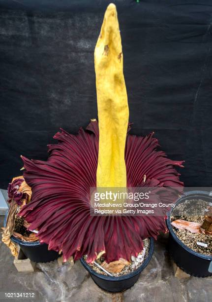 The titan arum or corpse flower at the Biology Greenhouse Complex at Cal State University Fullerton on Saturday morning June 23 2018