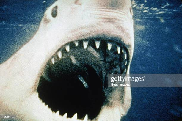 The titular giant Great White shark opens its mouth in a still from the film 'Jaws' directed by Steven Spielberg 1975