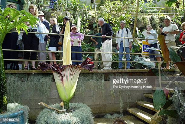 The titum arum has flowered at the Royal Botanic Gardens in Sydney and is attracting large crowds a queue of people stretches some 75 meters from the...