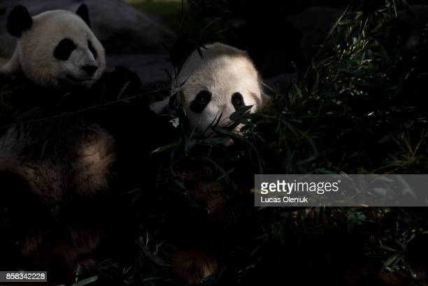 The Toronto Zoo will be celebrating the 2nd birthday of their giant panda cubs Jia Yueyue and Jia Panpan over the weekend This fall will be the last...