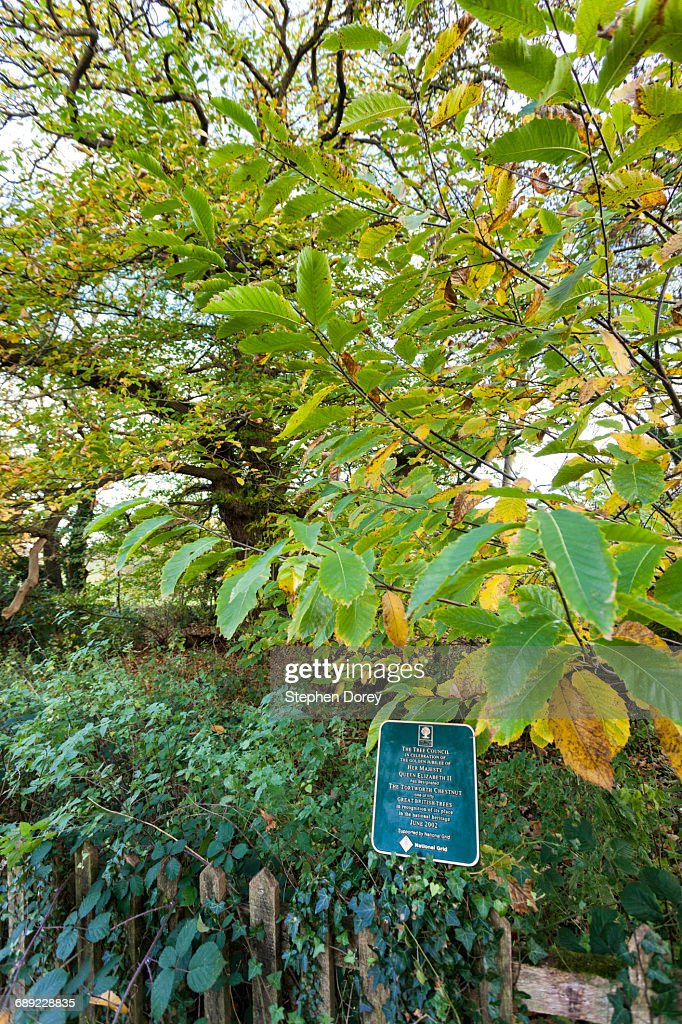 The Tortworth Chestnut - Ancient Castanea sativa : Stock Photo