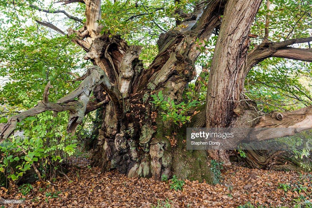 The Tortworth Chestnut - Ancient Castanea sativa : Stock Photo